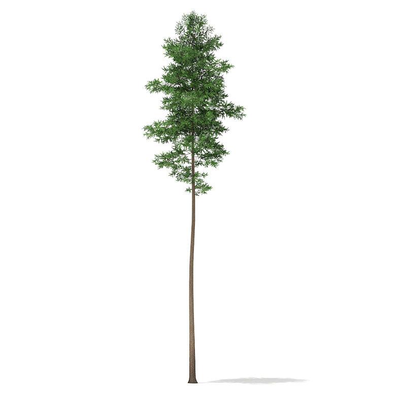 3d scots pine tree pinus model