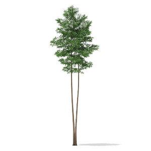 scots pine tree pinus 3d max