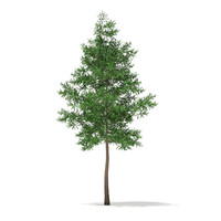 Scots Pine Tree (Pinus sylvestris) 10.8m