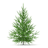 3d norway spruce picea abies model
