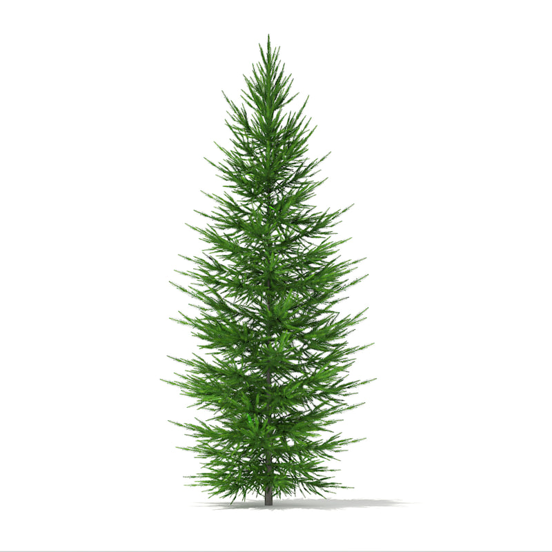 norway spruce picea abies 3d model