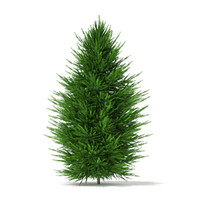 max norway spruce picea abies
