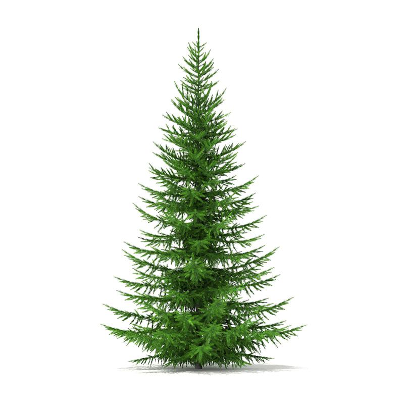 3d model norway spruce picea abies