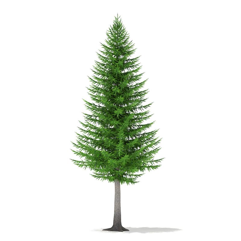 norway spruce picea abies 3d c4d