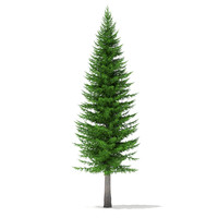 norway spruce picea abies 3d max