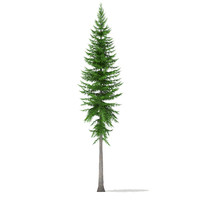norway spruce picea abies max
