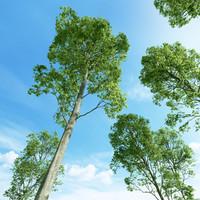 Beech tree (Fagus sylvatica 1)