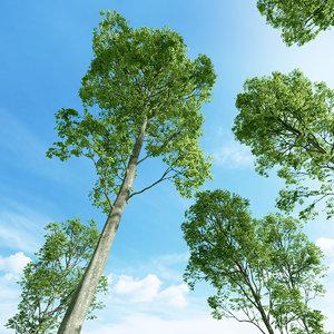 beech tree fagus sylvatica max