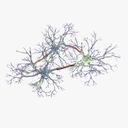 neuron 3D models