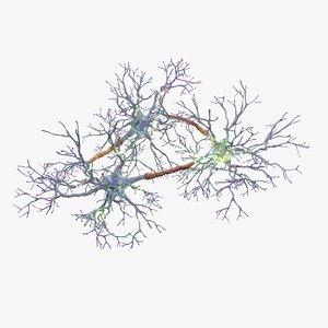 neurons synapses myelin c4d
