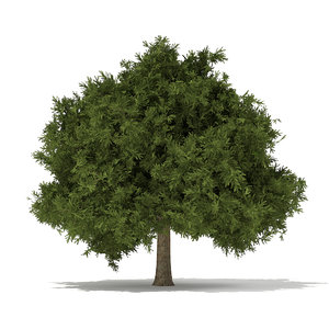 3d model european yew taxus baccata