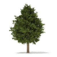 european yew taxus baccata 3d model