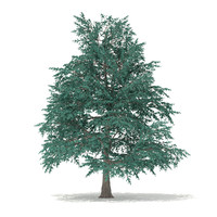 3d model blue atlas cedar cedrus