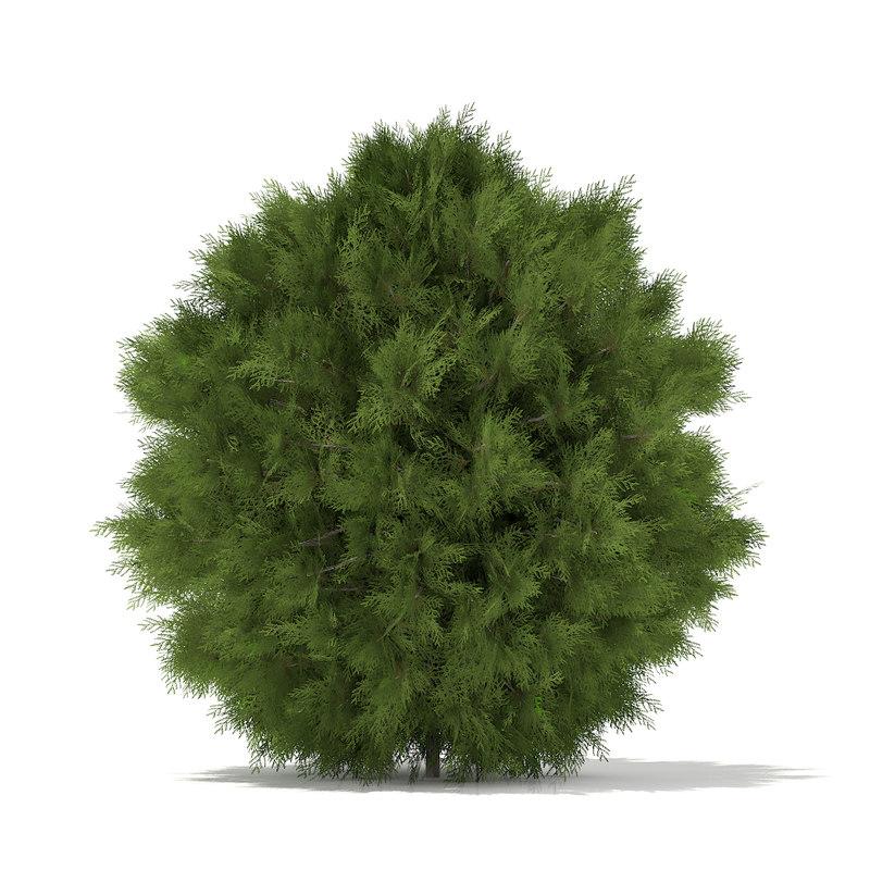 3d white cedar thuja occidentalis