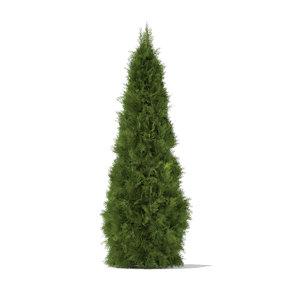 3d white cedar thuja occidentalis model