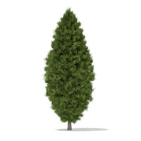3d white cedar thuja occidentalis