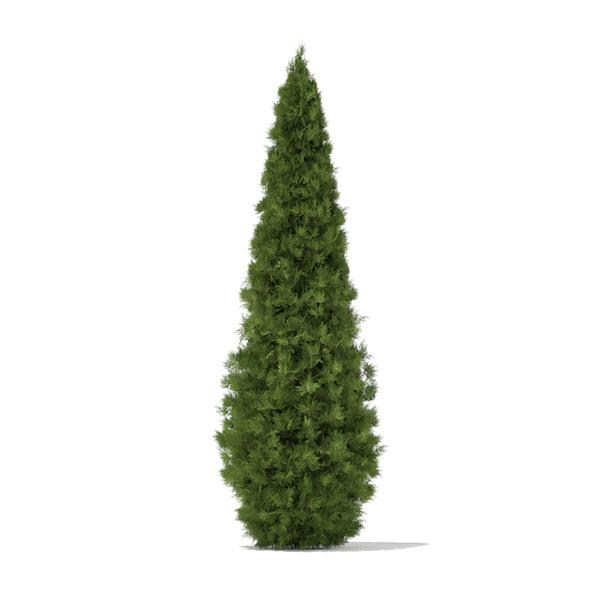 obj white cedar thuja occidentalis