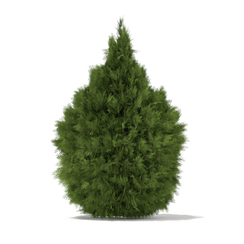 white cedar thuja occidentalis 3d model