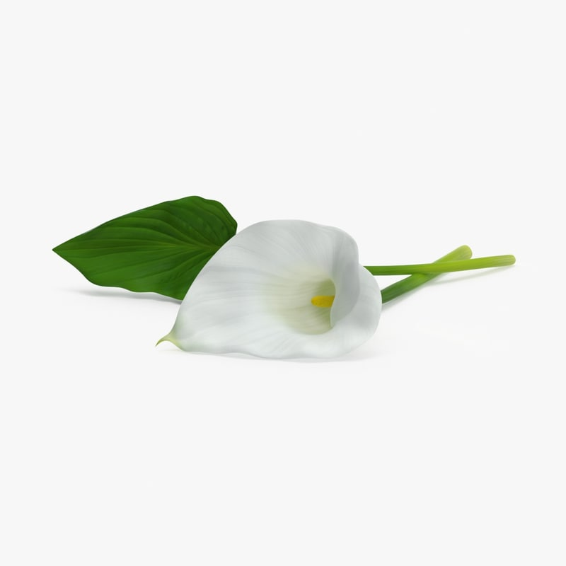3d model calla-lily---single-laying
