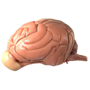 dog brain 3d model