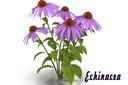 Purple Coneflower 3D models