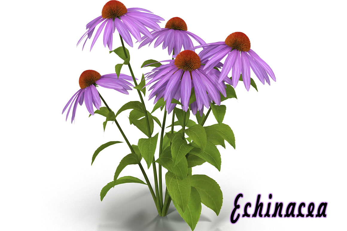 3d echinacea