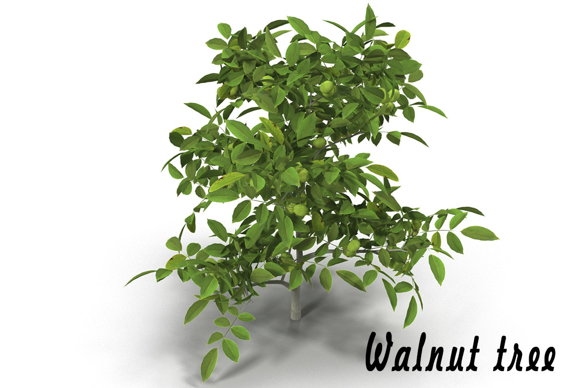 walnut tree 3d obj