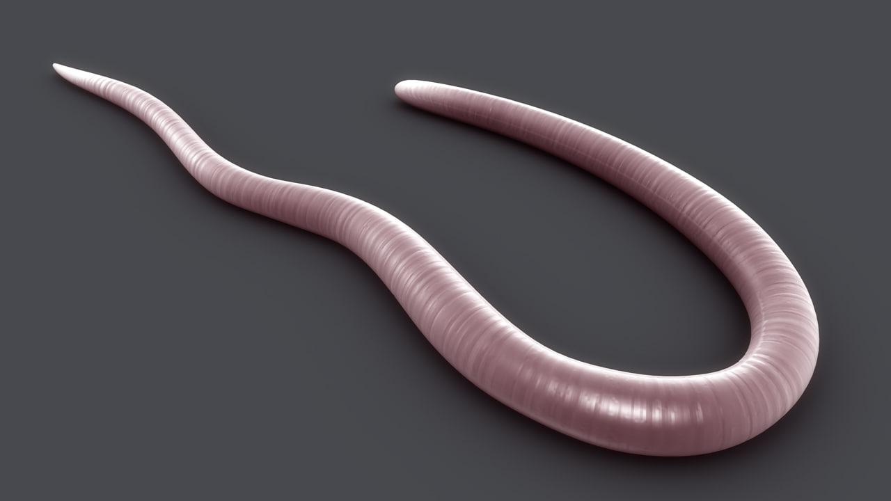 trichinella parasitic roundworms 3d obj