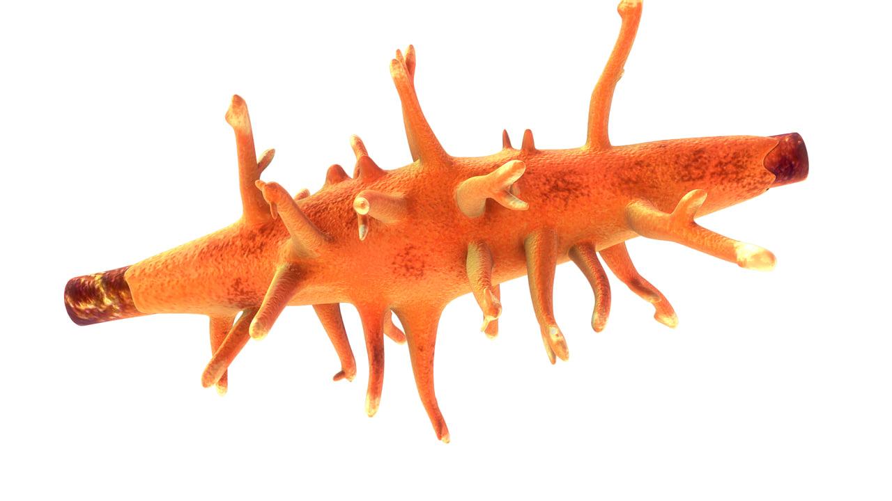 maya spongilla sponssoort gewone