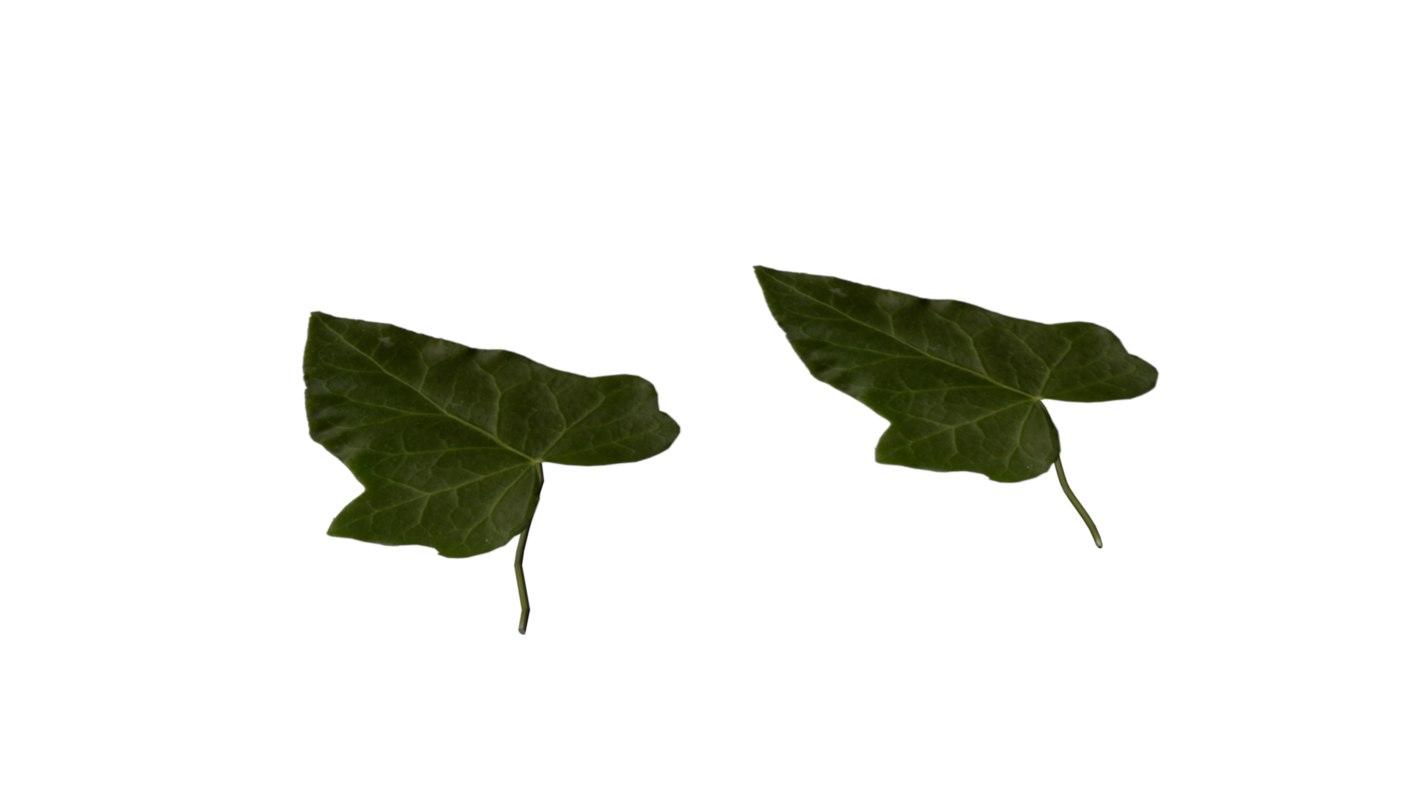 free ma mode ivy leaf
