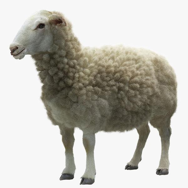 3d model of sheep realistic