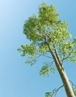 3d beech tree fagus sylvatica