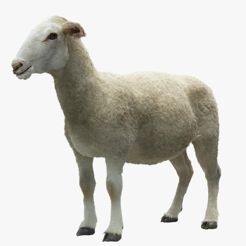 3d sheep realistic hair model