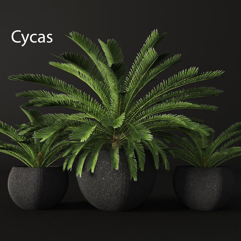 3d model of cycas palms tree