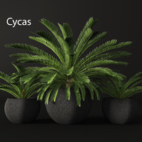 3d model of cycas palms tree