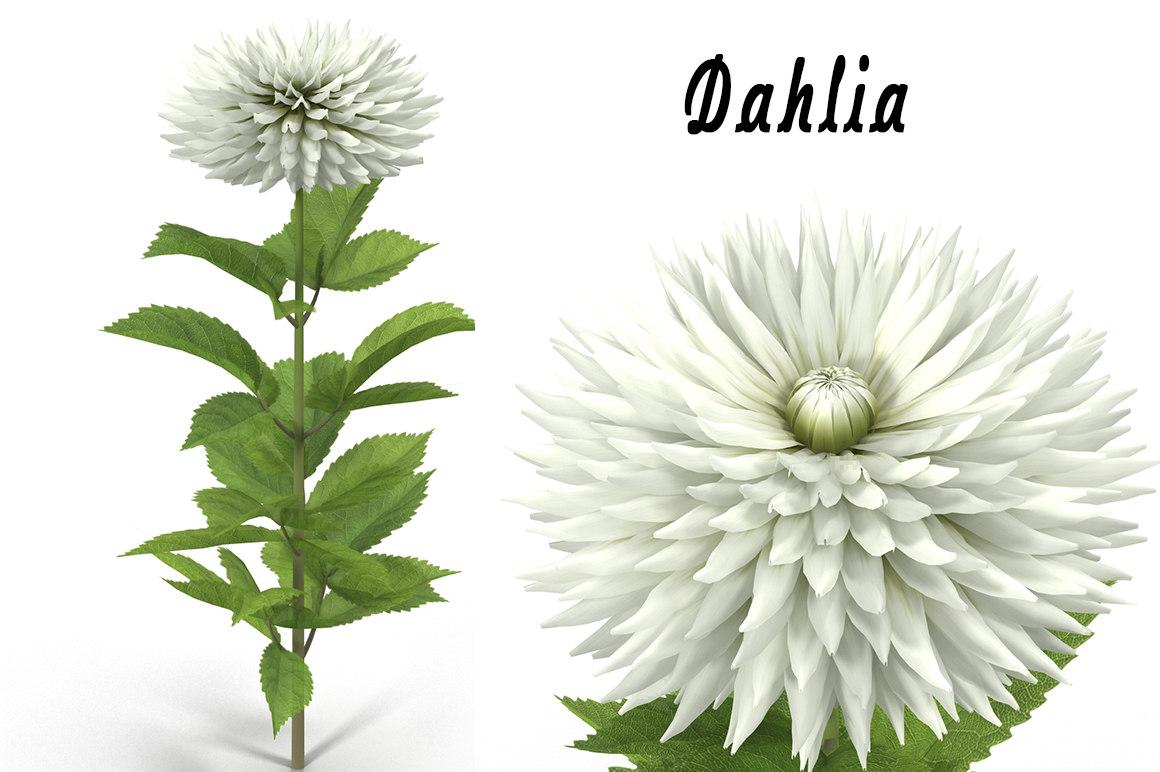 dahlia flower max