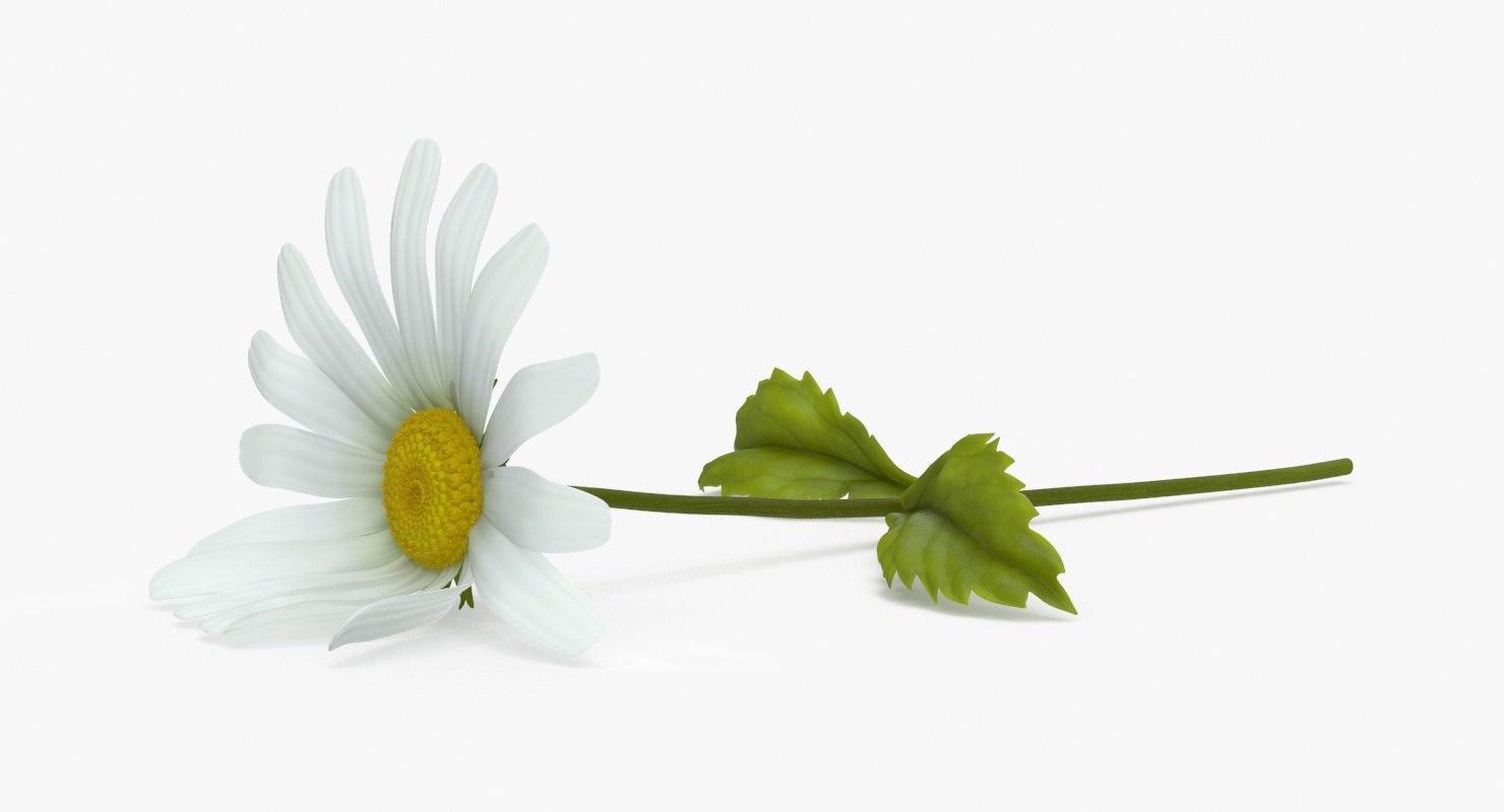 daisy single laying 3d model