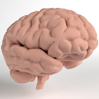 3d model pbr uv-unwrapped human brain