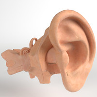 3d pbr uv-textured human ear model