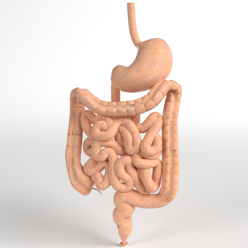 pbr uv-textured human gastrointestinal 3d model