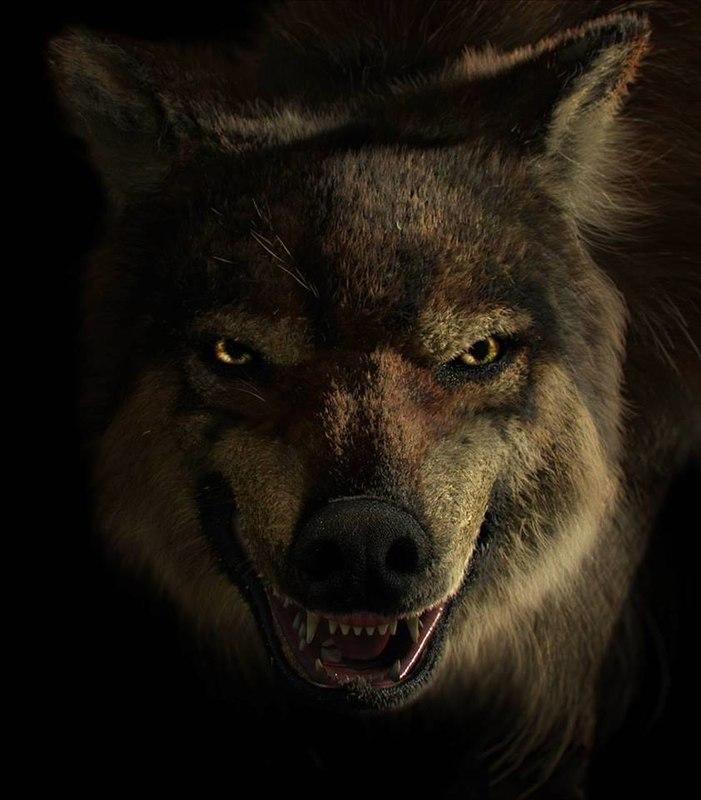 wolf max
