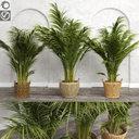 Areca Palm Trees (+GrowFX)