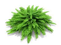 plant american maidenhair fern max