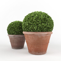 Boxwood - Set 4