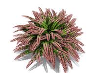Rosy Australian Maidenhair Fern (213)