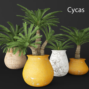 cycas palms tree 3d model