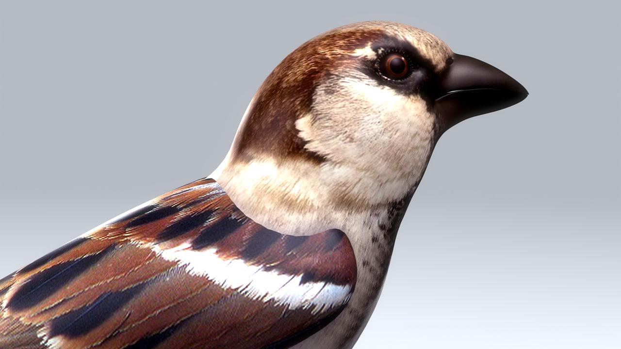 house sparrow 3d obj