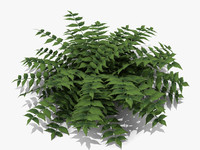 3d plant japanese holly fern