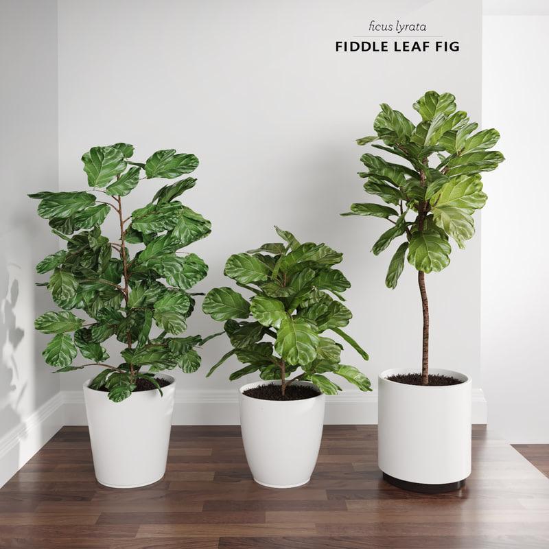 3d Model Ficus Lyrata Trees Fiddle Leaf