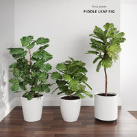 3d model ficus lyrata trees fiddle-leaf